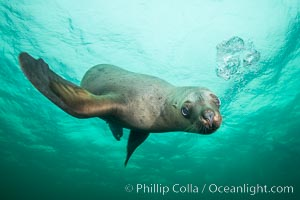Steller sea lion underwater, Norris Rocks, Hornby Island, British Columbia, Canada. Hornby Island, British Columbia, Canada, Eumetopias jubatus, natural history stock photograph, photo id 32719