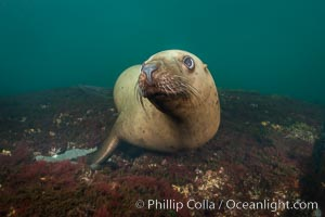 Steller sea lion underwater, Norris Rocks, Hornby Island, British Columbia, Canada., Eumetopias jubatus, natural history stock photograph, photo id 32723