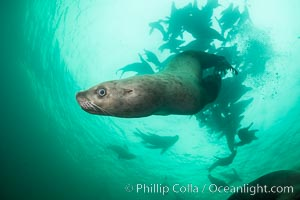 Steller sea lion underwater, Norris Rocks, Hornby Island, British Columbia, Canada. Hornby Island, British Columbia, Canada, Eumetopias jubatus, natural history stock photograph, photo id 32732