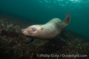 Steller sea lion underwater, Norris Rocks, Hornby Island, British Columbia, Canada. Hornby Island, British Columbia, Canada, Eumetopias jubatus, natural history stock photograph, photo id 32743