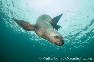 Steller sea lion underwater, Norris Rocks, Hornby Island, British Columbia, Canada. Hornby Island, British Columbia, Canada, Eumetopias jubatus, natural history stock photograph, photo id 32745