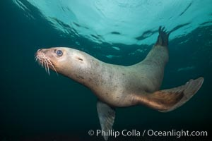 Steller sea lion underwater, Norris Rocks, Hornby Island, British Columbia, Canada. Hornby Island, British Columbia, Canada, Eumetopias jubatus, natural history stock photograph, photo id 32750
