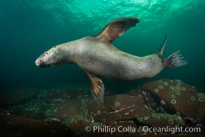Steller sea lion underwater, Norris Rocks, Hornby Island, British Columbia, Canada. Hornby Island, British Columbia, Canada, Eumetopias jubatus, natural history stock photograph, photo id 32767