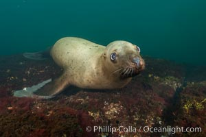 Steller sea lion underwater, Norris Rocks, Hornby Island, British Columbia, Canada. Hornby Island, British Columbia, Canada, Eumetopias jubatus, natural history stock photograph, photo id 32804