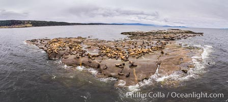Steller Sea Lions atop Norris Rocks, Hornby Island and Vancouver Island, panoramic photo, Eumetopias jubatus