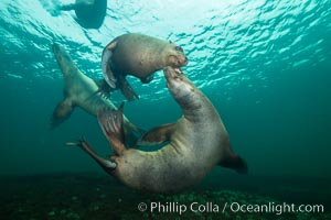 Young Steller sea lions mock jousting underwater,  a combination of play and mild agreession, Norris Rocks, Hornby Island, British Columbia, Canada. Hornby Island, British Columbia, Canada, Eumetopias jubatus, natural history stock photograph, photo id 32669