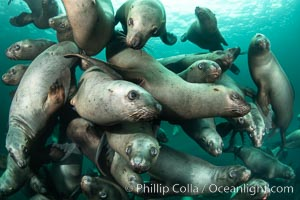 A large group of Steller sea lions underwater, Norris Rocks, Hornby Island, British Columbia, Canada, Eumetopias jubatus