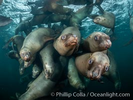 Steller sea lions underwater, Norris Rocks, Hornby Island, British Columbia, Canada., Eumetopias jubatus, natural history stock photograph, photo id 36053