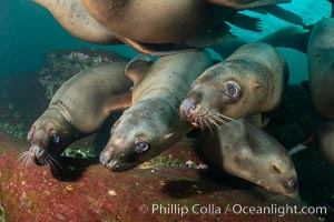 Steller sea lions underwater, Norris Rocks, Hornby Island, British Columbia, Canada., Eumetopias jubatus, natural history stock photograph, photo id 36069