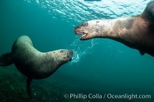 Steller sea lions underwater, juveniles mock sparring, Norris Rocks, Hornby Island, British Columbia, Canada, Eumetopias jubatus