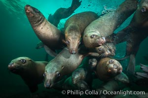 Image 32663, Steller sea lions underwater, Norris Rocks, Hornby Island, British Columbia, Canada. Hornby Island, British Columbia, Canada, Eumetopias jubatus, Phillip Colla, all rights reserved worldwide. Keywords: animal, animalia, british columbia, canada, caniformia, carnivora, carnivore, chordata, creature, eared seal, endangered, eumetopias, eumetopias jubatus, hornby island, mammal, mammalia, marine, marine mammal, nature, norris rocks, northern sea lion, ocean, otariid, otariidae, otariinae, pinniped, sea lion, steller s sea lion, steller sea lion, straight of georgia, threatened, underwater, vancouver island, vertebrata, vertebrate, wildlife.