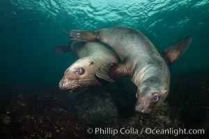 Steller sea lions underwater, Norris Rocks, Hornby Island, British Columbia, Canada. Hornby Island, British Columbia, Canada, Eumetopias jubatus, natural history stock photograph, photo id 32664