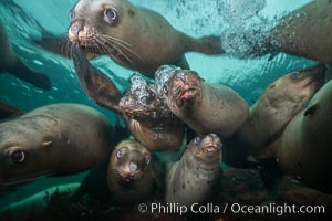 Steller sea lions underwater, Norris Rocks, Hornby Island, British Columbia, Canada., Eumetopias jubatus, natural history stock photograph, photo id 32666