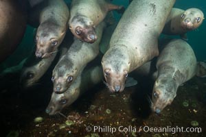 Steller sea lions underwater, Norris Rocks, Hornby Island, British Columbia, Canada. Hornby Island, British Columbia, Canada, Eumetopias jubatus, natural history stock photograph, photo id 32673