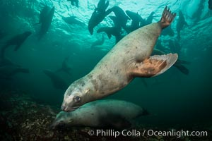 Steller sea lions underwater, Norris Rocks, Hornby Island, British Columbia, Canada. Hornby Island, British Columbia, Canada, Eumetopias jubatus, natural history stock photograph, photo id 32678