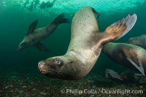 Steller sea lions underwater, Norris Rocks, Hornby Island, British Columbia, Canada. Hornby Island, British Columbia, Canada, Eumetopias jubatus, natural history stock photograph, photo id 32681