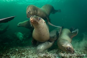 Steller sea lions underwater, Norris Rocks, Hornby Island, British Columbia, Canada. Hornby Island, British Columbia, Canada, Eumetopias jubatus, natural history stock photograph, photo id 32683