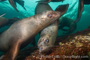 Steller sea lions underwater, Norris Rocks, Hornby Island, British Columbia, Canada., Eumetopias jubatus, natural history stock photograph, photo id 32697