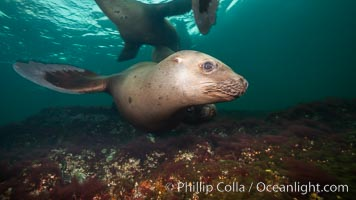 Steller sea lions underwater, Norris Rocks, Hornby Island, British Columbia, Canada., Eumetopias jubatus, natural history stock photograph, photo id 32698