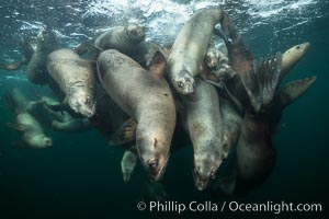 Steller sea lions underwater, Norris Rocks, Hornby Island, British Columbia, Canada. Hornby Island, British Columbia, Canada, Eumetopias jubatus, natural history stock photograph, photo id 32703