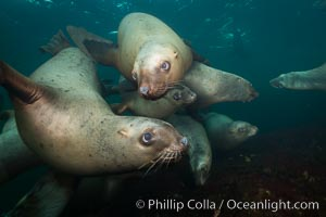Steller sea lions underwater, Norris Rocks, Hornby Island, British Columbia, Canada. Hornby Island, British Columbia, Canada, Eumetopias jubatus, natural history stock photograph, photo id 32705