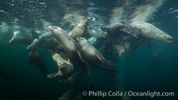 Steller sea lions underwater, Norris Rocks, Hornby Island, British Columbia, Canada., Eumetopias jubatus, natural history stock photograph, photo id 32717