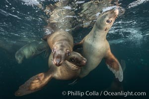 Steller sea lions underwater, Norris Rocks, Hornby Island, British Columbia, Canada., Eumetopias jubatus, natural history stock photograph, photo id 32727