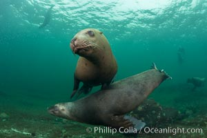 Steller sea lions underwater, Norris Rocks, Hornby Island, British Columbia, Canada. Hornby Island, British Columbia, Canada, Eumetopias jubatus, natural history stock photograph, photo id 32735