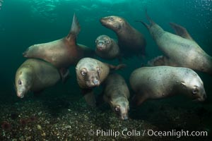 Steller sea lions underwater, Norris Rocks, Hornby Island, British Columbia, Canada., Eumetopias jubatus, natural history stock photograph, photo id 32739