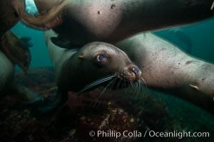 Steller sea lions underwater, Norris Rocks, Hornby Island, British Columbia, Canada. Hornby Island, British Columbia, Canada, Eumetopias jubatus, natural history stock photograph, photo id 32752