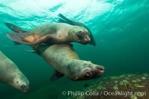 Steller sea lions underwater, Norris Rocks, Hornby Island, British Columbia, Canada, Eumetopias jubatus