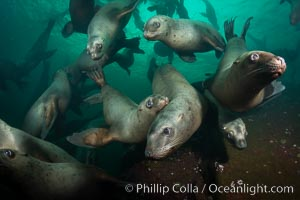 Steller sea lions underwater, Norris Rocks, Hornby Island, British Columbia, Canada. Hornby Island, British Columbia, Canada, Eumetopias jubatus, natural history stock photograph, photo id 32772