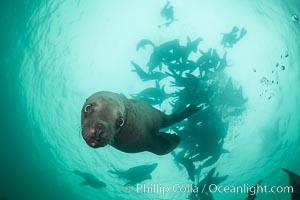 Steller sea lions underwater, Norris Rocks, Hornby Island, British Columbia, Canada. Hornby Island, British Columbia, Canada, Eumetopias jubatus, natural history stock photograph, photo id 32776