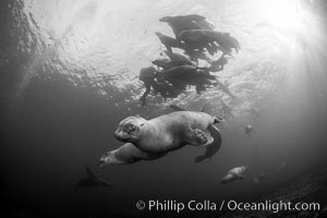 Steller sea lions underwater, black and white, Norris Rocks, Hornby Island, British Columbia, Canada. Hornby Island, British Columbia, Canada, Eumetopias jubatus, natural history stock photograph, photo id 32785