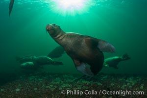 Steller sea lions underwater, Norris Rocks, Hornby Island, British Columbia, Canada. Hornby Island, British Columbia, Canada, Eumetopias jubatus, natural history stock photograph, photo id 32787