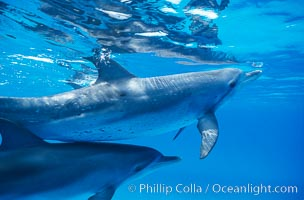 Atlantic spotted dolphin. Bahamas, Stenella frontalis, natural history stock photograph, photo id 00676