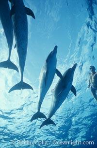 Atlantic spotted dolphin, Japanese triathlete Takashima, Stenella frontalis