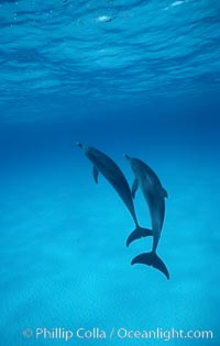 Atlantic spotted dolphin. Bahamas, Stenella frontalis, natural history stock photograph, photo id 00690