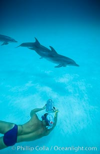 Atlantic spotted dolphin, videographer Harrison Stubbs, Ph.D. Bahamas, Stenella frontalis, natural history stock photograph, photo id 01146