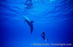 Atlantic spotted dolphin, Olympic swimmer Mikako Kotani. Bahamas, Stenella frontalis, natural history stock photograph, photo id 01147