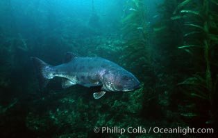 Giant black sea bass swims amid giant kelp forest, Stereolepis gigas, San Clemente Island