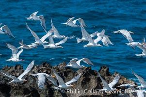 Royal terns. Great Isaac Island, Bahamas, Sterna maxima, natural history stock photograph, photo id 10824