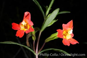 Sticky-leaf monkeyflower, or sticky monkeyflower, Mimulus aurantiacus, San Elijo Lagoon, Encinitas, California