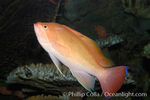 Stocky anthias, male coloration, Pseudanthias hypselosoma