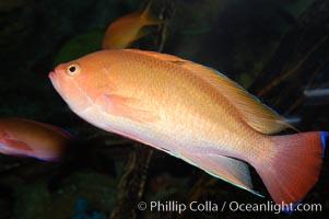 Stocky anthias, male coloration., Pseudanthias hypselosoma, natural history stock photograph, photo id 08897