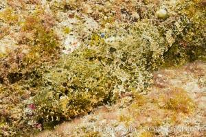 Stone scorpionfish, Sea of Cortez, Baja California, Mexico., Scorpaena mystes, natural history stock photograph, photo id 27579