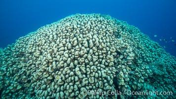 Stony hard corals on pristine Fijian coral reef, Nigali Passage, Gau Island, Lomaiviti Archipelago