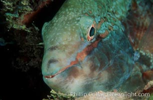 Image 07081, Stoplight parrotfish, female night coloration. Roatan, Honduras, Sparisoma viride, Phillip Colla, all rights reserved worldwide. Keywords: animal, caribbean, fish, honduras, marine, marine fish, nature, ocean, oceans, parrotfish, roatan, roatan bay islands, sea, sparisoma viride, stoplight parrotfish, teleost fish, underwater, wildlife.