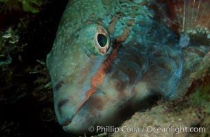 Stoplight parrotfish, female night coloration, Sparisoma viride, Roatan