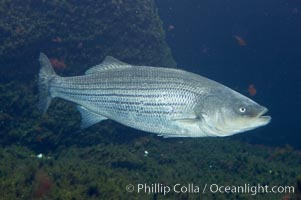 Striped bass (striper, striped seabass)., Morone saxatilis, natural history stock photograph, photo id 10983